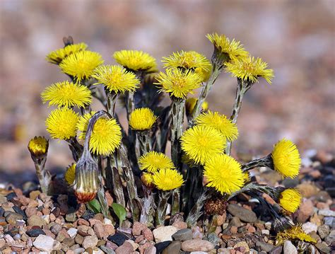 File:Coltsfoot