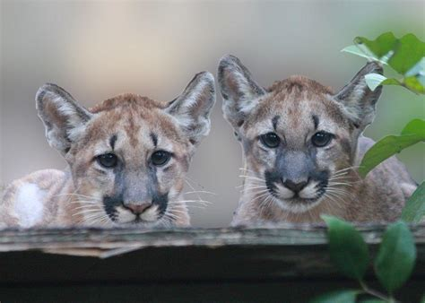 When Will the Endangered Florida Panther Catch a Break? | NRDC