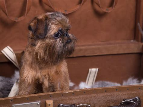 Beau - Brussels Griffon Puppy for sale | Euro Puppy