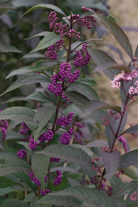 Dwarf varieties of dark-leaved trees and shrubs are small