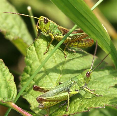GRASSHOPPER PICTURES, PICS, IMAGES AND PHOTOS FOR YOUR